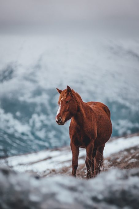 A brown stallion horse on a field covered in snow