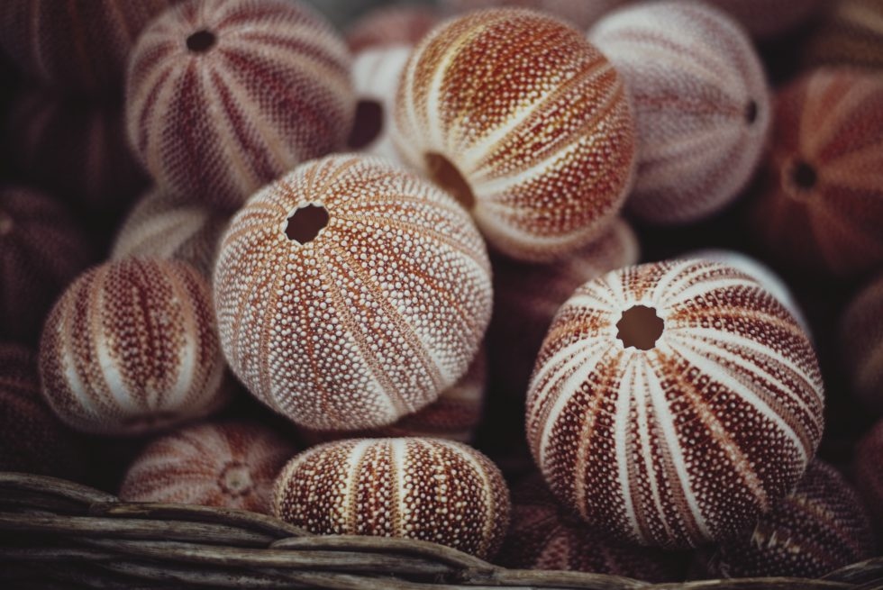 Skeletons of sea urchins in a basket